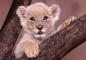 Jeu puzzle lion