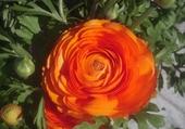 Puzzle en ligne Fleur renoncule