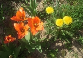 Puzzle Tulipes et pissenlits