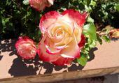 Puzzle gratuit rose prince de monaco