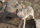 Puzzle Loups de Chabrière 1