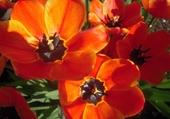Puzzle Tulipes du jardin