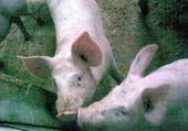 Jeux de puzzle : cochons