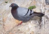 Puzzle pigeon