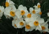 Puzzle Narcisses