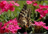 Puzzle Puzzle en ligne joli papillon