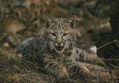 Puzzle en ligne le lynx
