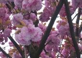 Puzzle fleurs du japon