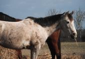 Puzzles mon cheval : sultan