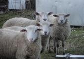 Puzzle moutons