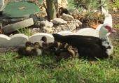 Puzzle Puzzle Famille de canard