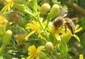 l'abeille