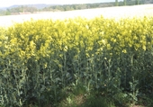 Champs jaune