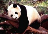 Jeux de puzzle : panda