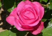 Puzzles Belle rose du jardin
