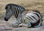 Jeux de puzzle : coucher le zebre