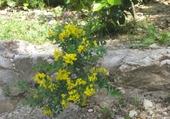Puzzle en ligne Arbuste en Fleurs