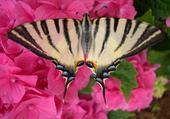 Puzzle papillon sur hortansia