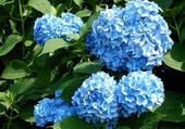 Puzzle en ligne hortencia bleu
