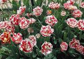 Jeux de puzzle : tulipes rouge et blanc