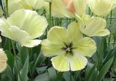 Jeux de puzzle : tulipes vanille