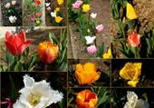 Puzzle Puzzle tulipes diverses