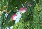 Puzzle arbre de soie