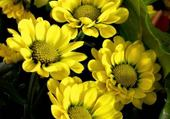 Puzzle fleurs jaunes