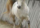 Puzzles un cheval gris
