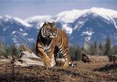 Puzzles Tigre