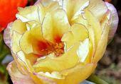 Puzzle fleur de pourpier