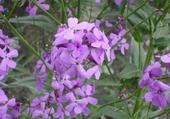 Jeux de puzzle : fleures mauve