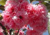 Puzzle cerisier du Japon