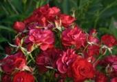 Puzzles Roses du jardin