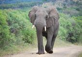 Puzzle Eléphant d'Afrique du Sud