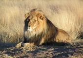 Puzzle lion de nambie