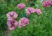 Puzzle Fleurs de pavot
