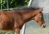 Puzzle le cheval broute