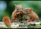 Jeux de puzzle : bébés ecureuil roux