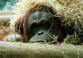 Puzzle le repos du singe