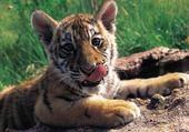 Puzzle en ligne Bébé Tigre