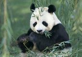 Puzzle Puzzle Panda