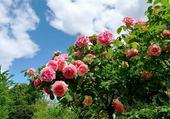 Puzzle gratuit roses