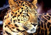 Puzzle léopard