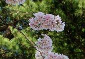 arbre washington
