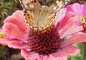 Puzzle papillon butineur