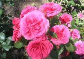 Puzzle en ligne les roses de ville croze