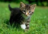 Puzzle gratuit Bébé chat