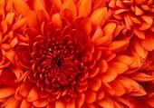 Puzzle gratuit chrysanthème