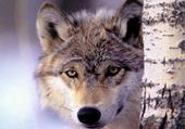 Puzzles Loup